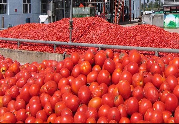 شبکه تعاون روستایی تا تعدیل قیمت گوجه فرنگی در بازار خرید حمایتی را ادامه میدهد