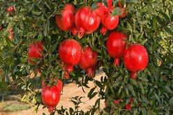 انار سرخ طارم راهی بازار ۲۵ استان کشور