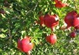 باشگاه خبرنگاران -پیش بینی برداشت ۱۵۰ تن انار از باغات شهرستان خلخال