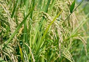 تولید دو میلیون و ۹۰۰ تن برنج در کشور/خودکفایی در تولید برنج