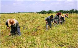 برداشت برنج از سطح ۸۶۵ هکتار زمین کشاورزی طارم آغاز شد