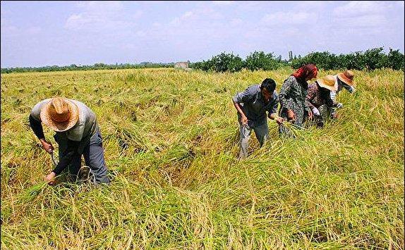 باشگاه خبرنگاران - برداشت برنج از سطح ۸۶۵ هکتار زمین کشاورزی طارم آغاز شد