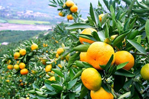 باشگاه خبرنگاران -هجوم مگسهای میوه خوار مدیترانهای به باغهای میوه شرق گیلان