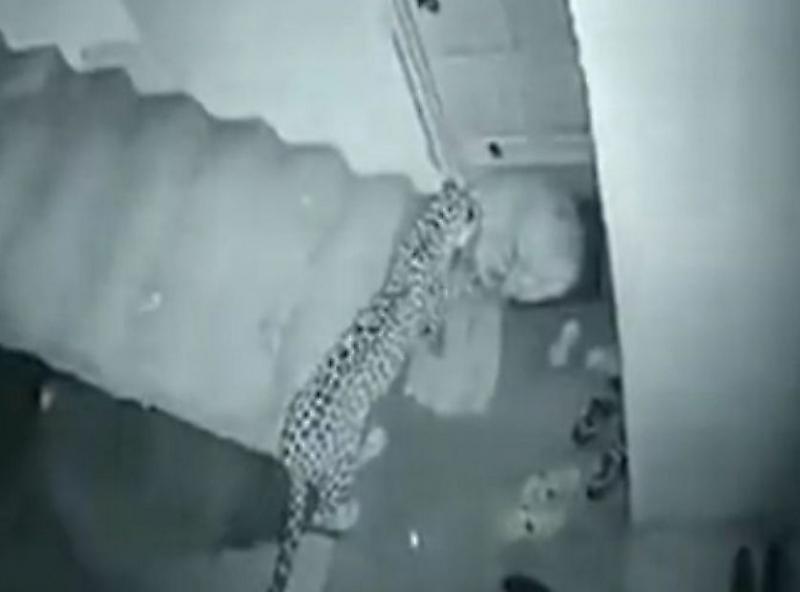 حمله غافلگیرانه پلنگ به سگ بیچاره+فیلم