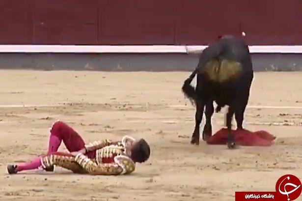 حمله مرگبار گاو خشمگین گاوباز راهی بیمارستان کرد + تصاویر//