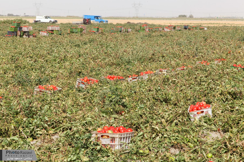 تجهیز تمامی اراضی گوجه فرنگی سازمان کشاورزی چناران به سامانه نوین آبیاری