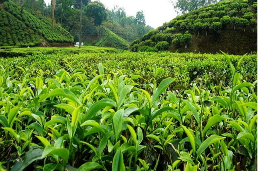 مصرف سالیانه ۱۳۰ هزار تن چای در کشور/ کاهش ۴۰ هزار تومانی قیمت چای در بازار