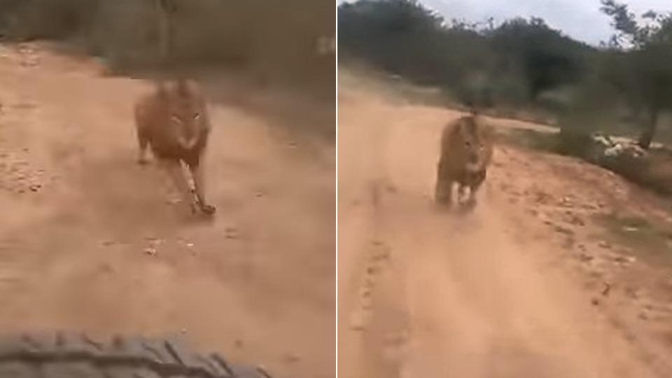 حمله شیر به گردشگران در پارک حیات وحش هند + فیلم///
