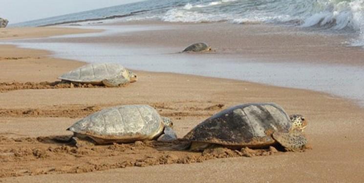 جزئیات برنامه اقدام ملی حفاظت از گونههای در حال انقراض لاک پشتهای دریایی