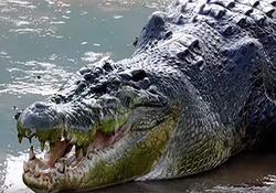 لحظه گاز گرفتن سر نگهبان باغ وحش توسط تمساح + فیلم