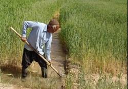 ۳۰۸ هزار هکتار از زمینهای کشاورزی زنجان زیر کشت گندم میرود