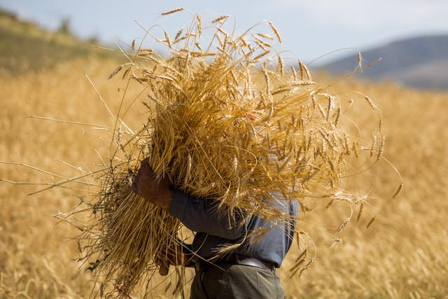 رتبه برتر همدان در تولید گندم/تولید سالانه نزدیک به ۵ میلیون تن محصولات کشاورزی