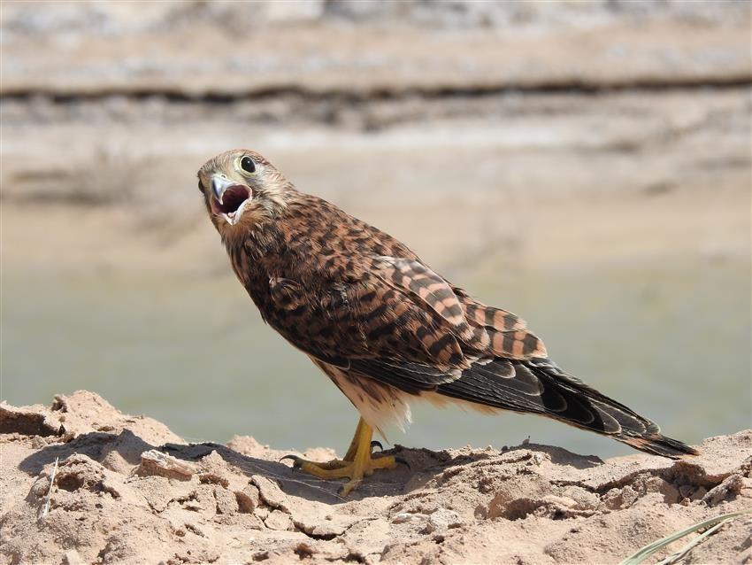 کشف و ضبط سه بهله پرنده شکاری در اراک