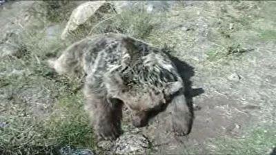 مرگ يک قلاده خرس در شهرستان مشگین شهر با اسلحه شکاری + فیلم