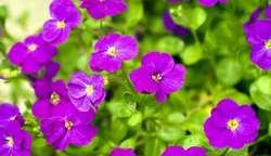 کاشت ۱۶ شاسی بذر گل بنفشه در نهالستان و انتقال آن به سطح شهر