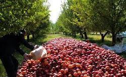 محبی/ فرصت طلایی صادرات پیش روی محصولات باغی/ تولید سیب درختی به ۴ و نیم میلیون تن رسید