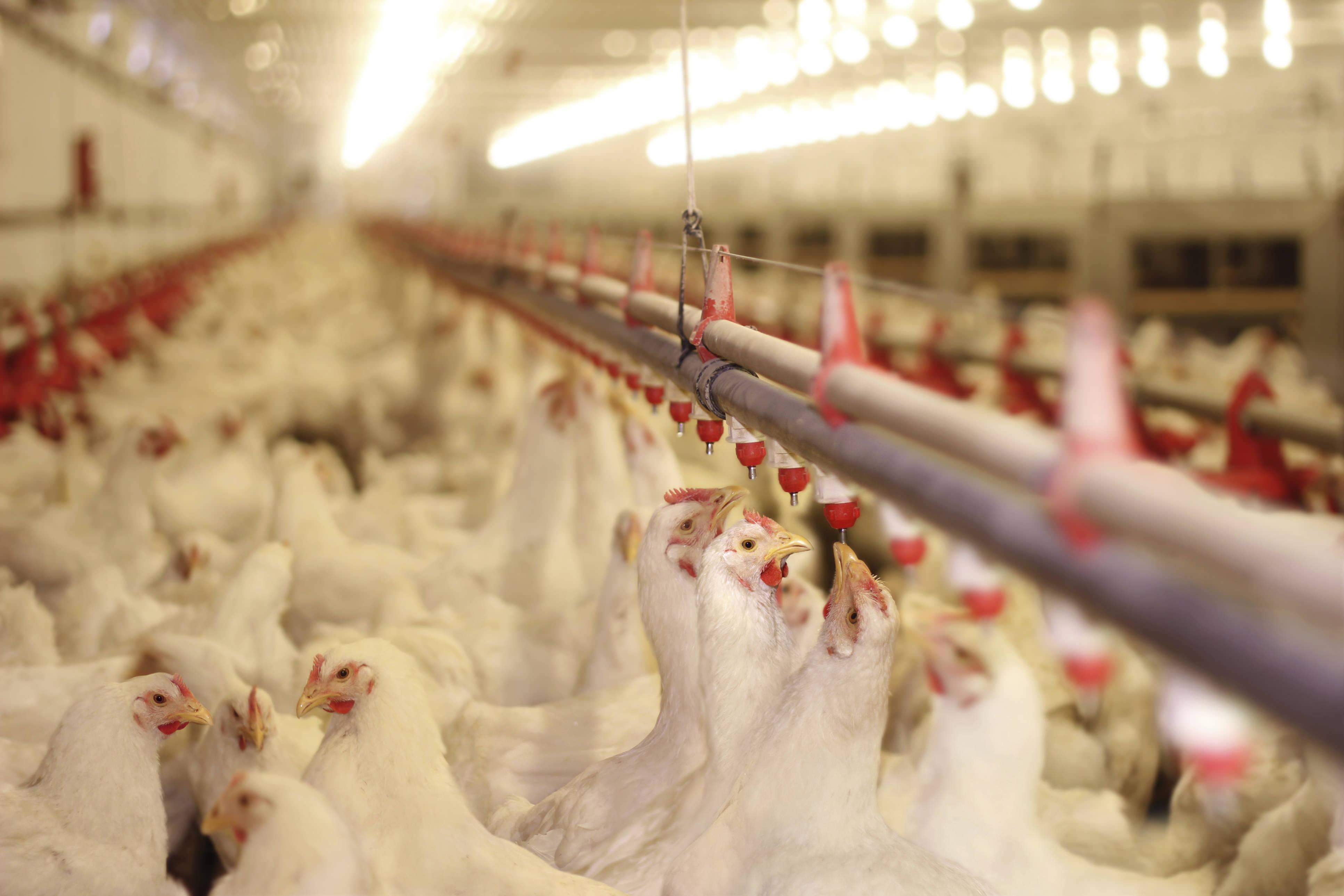 افزایش ۳۰۰ تومانی نرخ مرغ در بازار / قیمت مرغ به ۱۴ هزار تومان رسید
