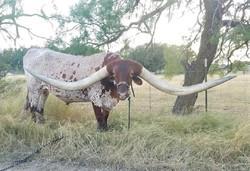 رکوردشکنی عجیب یک گاو در گینس + تصاویر