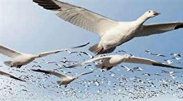 ورود پرندگان مهاجر به تالابهای گیلان