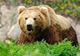 باشگاه خبرنگاران -تردد خرس مادر با تولهاش در پارک ملی گلستان + فیلم