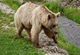 باشگاه خبرنگاران -رویت خرس قهوهای در جاده بوانات + فیلم
