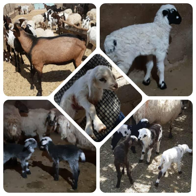 موفقیت طرح ژنتیکی گوسفند در نی ریز