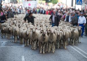 رژه گوسفندان در خیابانهای مادرید! + فیلم
