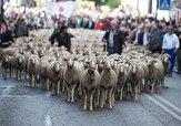 باشگاه خبرنگاران -رژه گوسفندان در خیابانهای مادرید! + فیلم