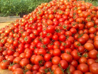 خرید ۱۱۰ هزارتن گوجه فرنگی به منظور حمایت از کشاورزان