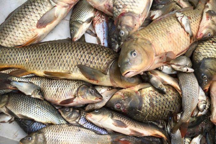 هزار و ۸۲۰ تن هزار ماهی در سبزوار تولید شد