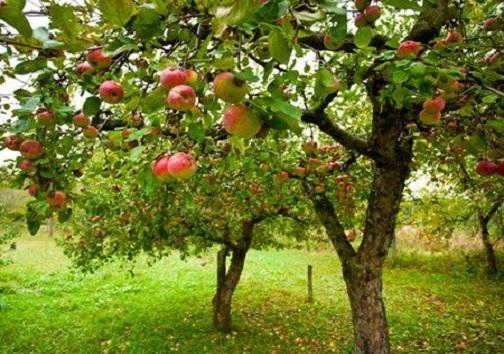 دولت برنامههای مختلفی برای حمایت از باغداران سیب در کهگیلویه و بویراحمد دارد
