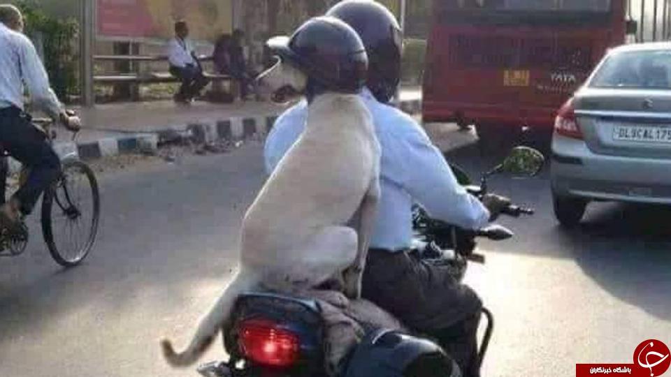 تصویری عجیب از یک موتورسوار در خیابان های هند! + عکس//