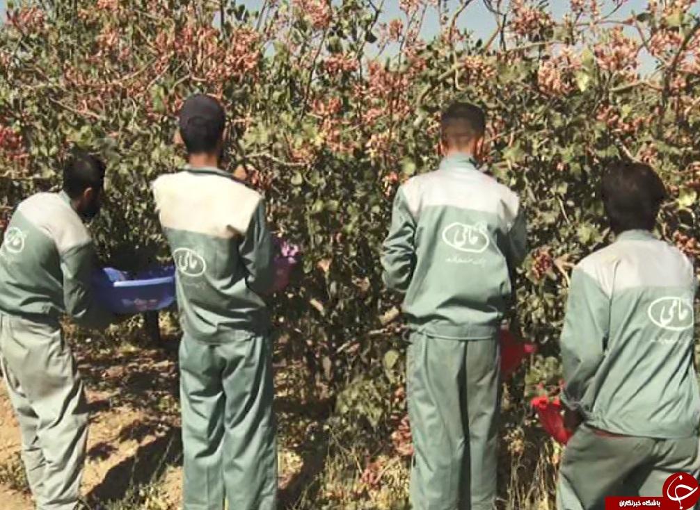اشتغال ماهانه ۶۰ زندانی در مجتمع کشت و صنعت کوثرساوه