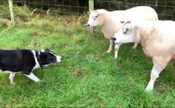 روش منحصر به فرد یک چوپان برای انتقال گوسفندان به داخل حصار! + فیلم