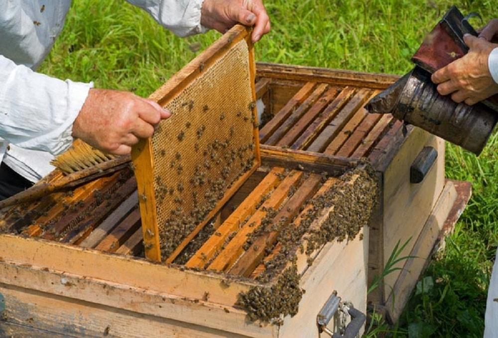 برداشت عسل از کندوهای گراش