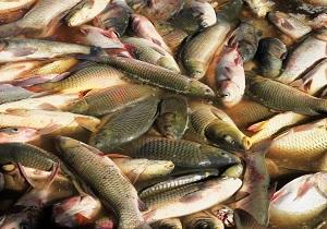 بارندگی شدید موجب مرگ  ۱۰ هزار قطعه ماهی در ثلاث باباجانی شد