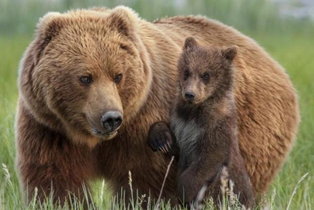 نزدیک شدن خرس ها به مناطق مسکونی/ نگران نباشید اما مراقب باشید