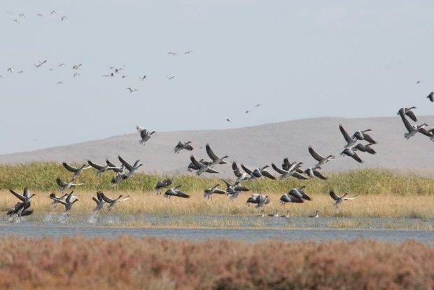 تالاب میقان، میزبان هر ساله پرندگان مهاجر