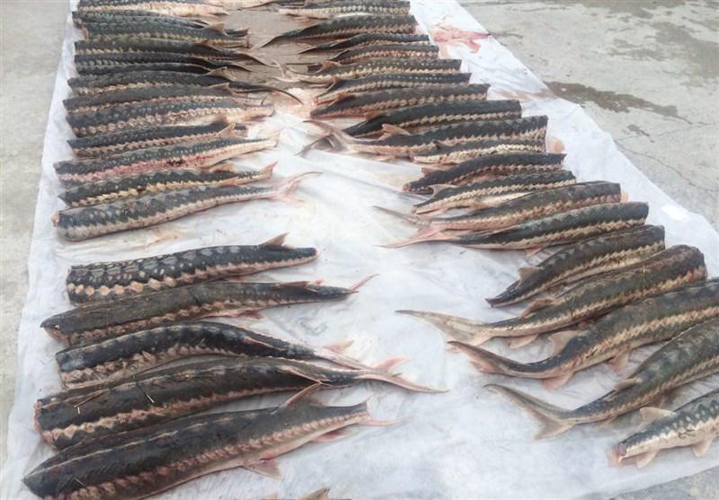تمدید ممنوعیت برای صید ماهی خاویار خزر