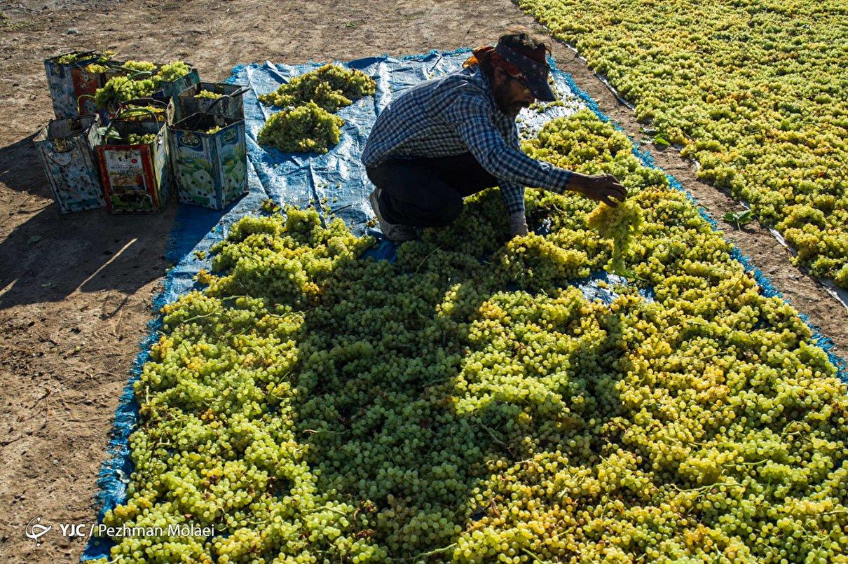 برداشت انگور در تاکستان قزوین