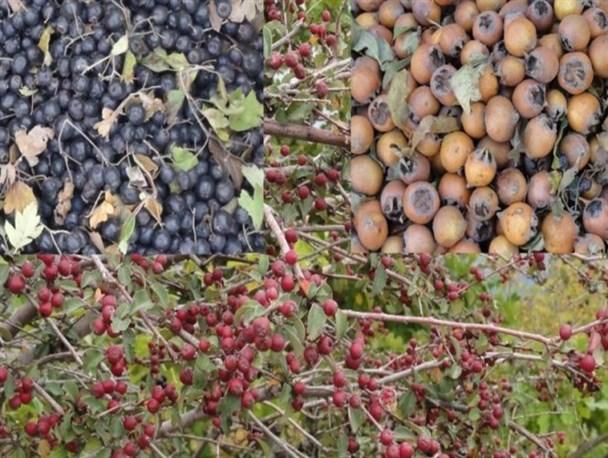 نابودی طبیعت کشور توسط دلالان میوههای وحشی