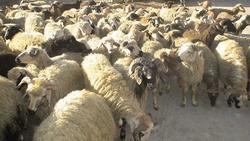 کشف ۱۵۰ رأس دام قاچاق در شهرستان بهار