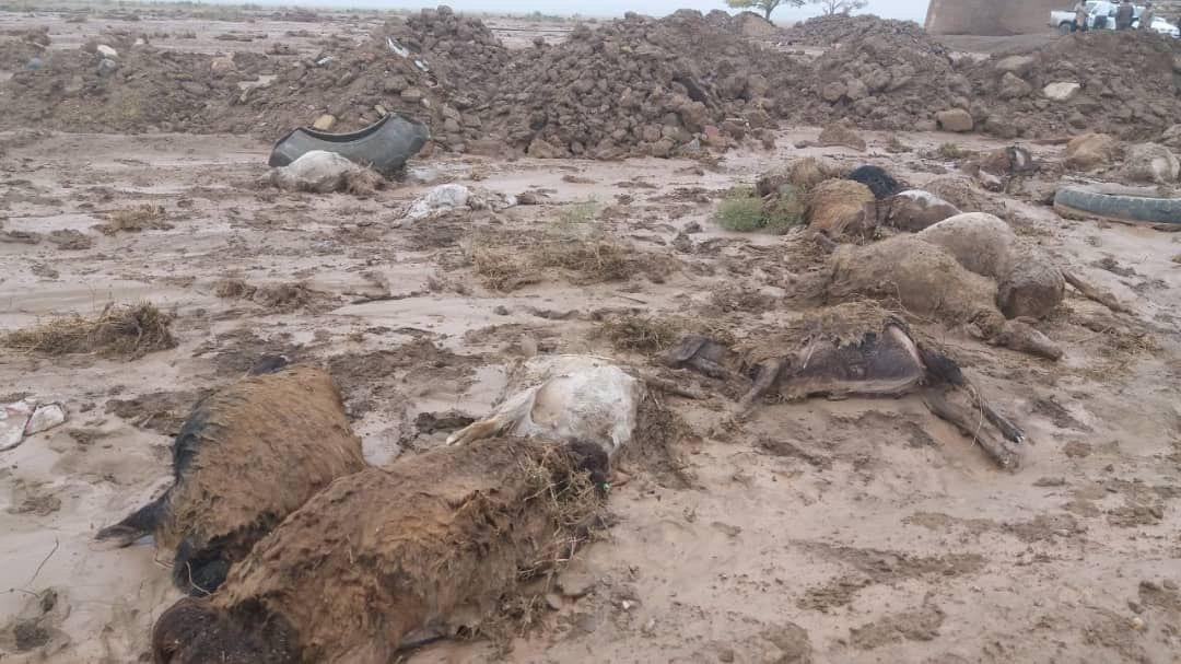 تلف شدن بیش از ۲۰۰ راس گوسفند در تربت جام + تصاویر