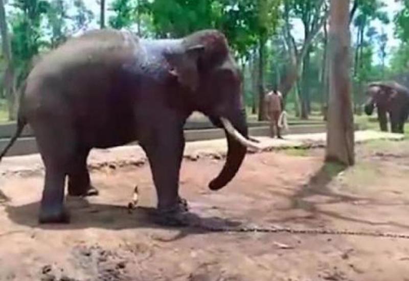 کار زیادی که فیل را هم از پا درآورد+فیلم