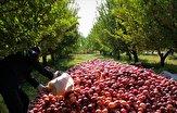 باشگاه خبرنگاران - سیبهایی که روی دست باغداران ماند/ نبود بازار فروش، باغداران را متضرر کرد