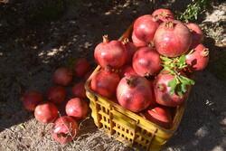 افزایش ۲۵ درصدی برداشت انار از باغهای شهرستان داورزن