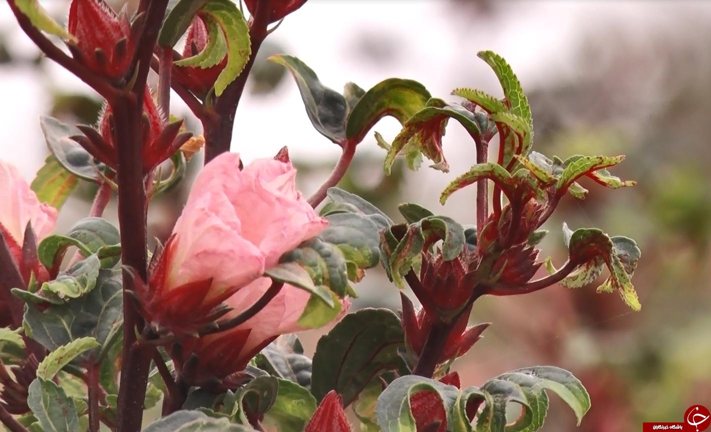 عَلوه، روستای دمنوش ها/چای ترش، محصولی که گردشگران را به سوی فرا میخواند