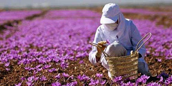باشگاه خبرنگاران -پیش بینی برداشت ۷۰ کیلوگرم زعفران از مزارع آذربایجان غربی