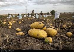 برداشت سیب زمینی در رزن و درگزین