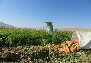 آغاز برداشت هویج از اراضی کشاورزی بن